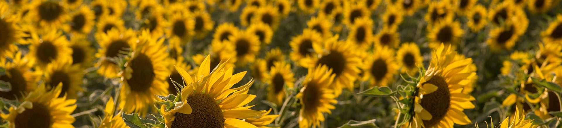 sunflower field on beautiful sunny summer day in provevce france